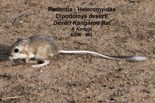 Side view of released adult on ground, D. d. arizonae