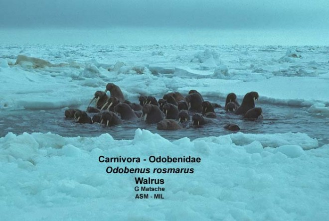 Small group in hole in pack ice.  Odobenus rosmarus divergens.
