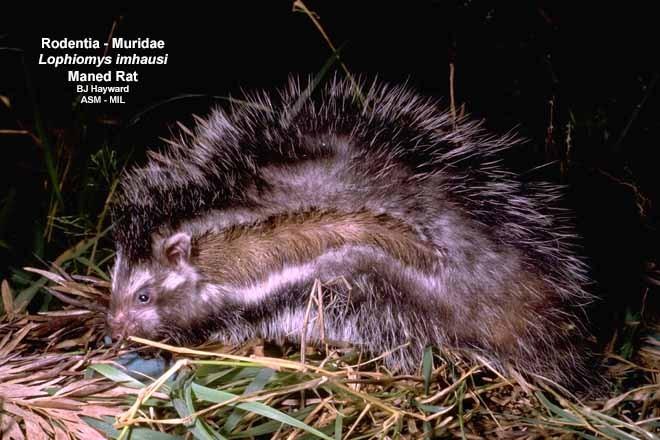 Formerly in Cricetidae.  Presumably FMNH 153119.